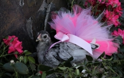 Chicken with pink tutu dress on
