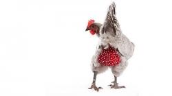 Chicken Nappy Medium