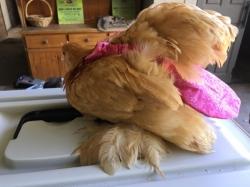 Chicken Nappy on Hen