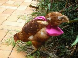 Chicken Nappy